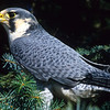 The peregrine falcon are deadly hunters and can fly up to 200 mph and hit their prey in mid flight.