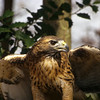 The red-tailed hawk are beautiful when they spread their wings to fly.  Note the power and strength of the wings.