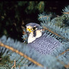 The peregrine falcon have a grayish back and white underbelly.  They have deep black eyes and the traditional black lines under the eyes.