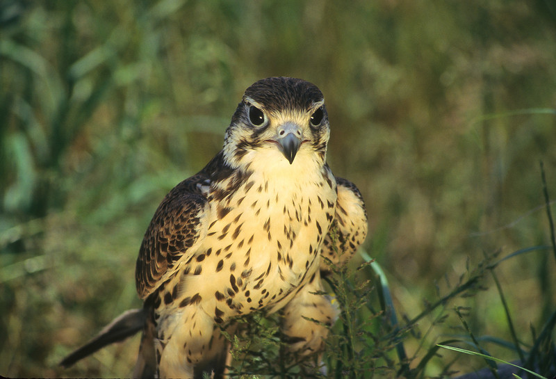 The broad winged hawk are small birds, migrates in groups and enjoys soaring on the wind therals.