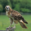 "The red-tailed hawk feed mostly on small mammals they find within their wooded and open field habitat.  In some parts of the country they are called ""Chickenhawks."""