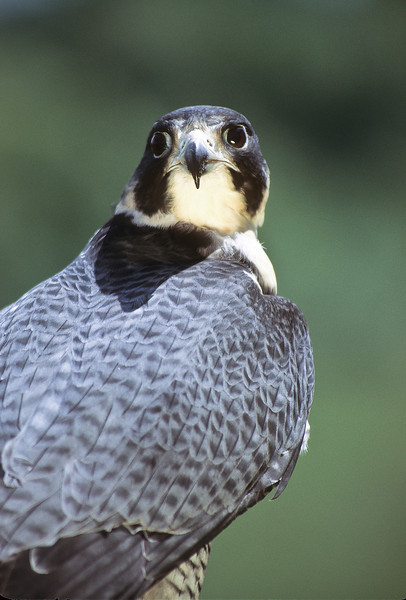 "The peregrine's diet is mainly medium sized birds but will take small land creatures if hungry.  They mate for life and nest in a ""scrape,"" a cliff type of dwelling."