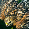 A red-shouldered hawk and we can see why.
