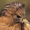 A red-shouldered hawk and what seems like a bad hair day.
