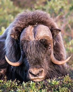 Musk Ox, Nome Alaska