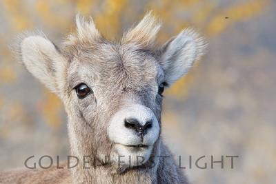 Big Horned Sheep, Lamb, Jasper National Park Canada