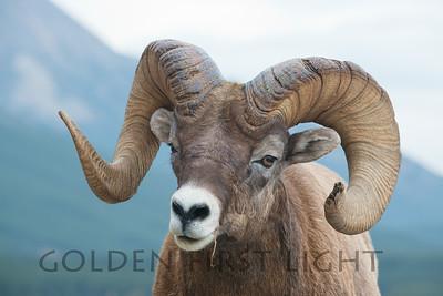 Big Horned Sheep, Jasper National Park