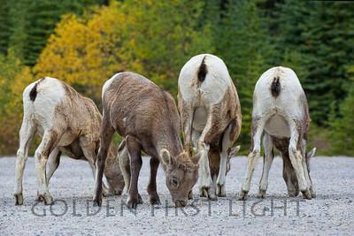 Big Horned Sheep, Lambs, Jasper National Park