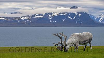 Caribou, Svalbard