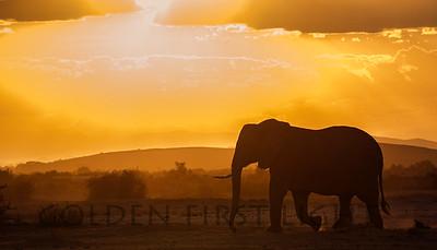African Elephant, Amboseli Kenya