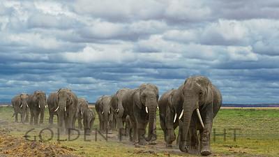 African Elephants at Amboseli, Kenya