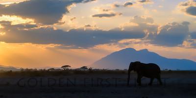 African Elephant at Amboseli Kenya at Sunset
