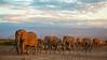 African elephants at sunset, Amboseli Kenya