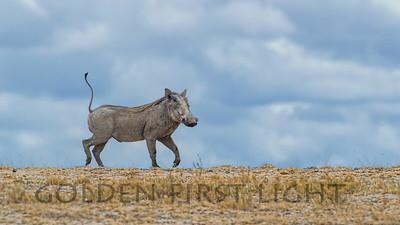 Warthog, Kenya