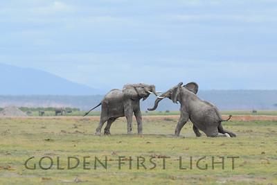 Young African Elephants, Amboseli, Kenya