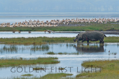 Hippo, Kenya
