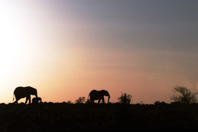 African Elephants at Sunrise, Kenya