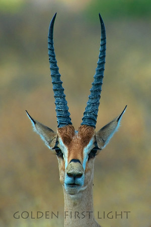 Thompson's Gazelle, Kenya