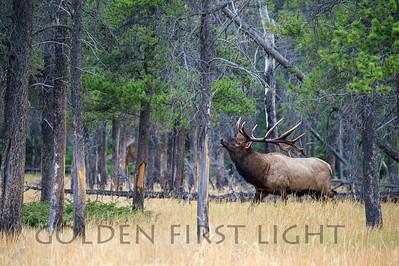Rocky Mountain Elk, Jasper National Park