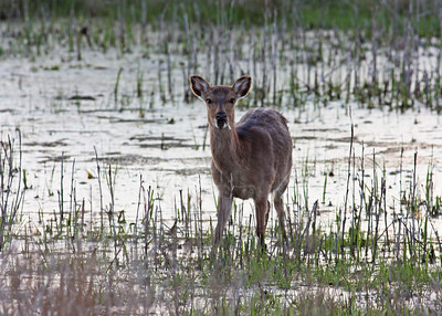 sika deer, April at Chincoteague NWR, VA