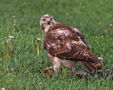 red-shouldered hawk eating mallard, Blacksburg, VA