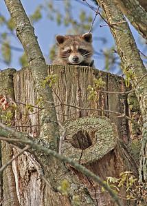 racoon, Blacksburg, VA