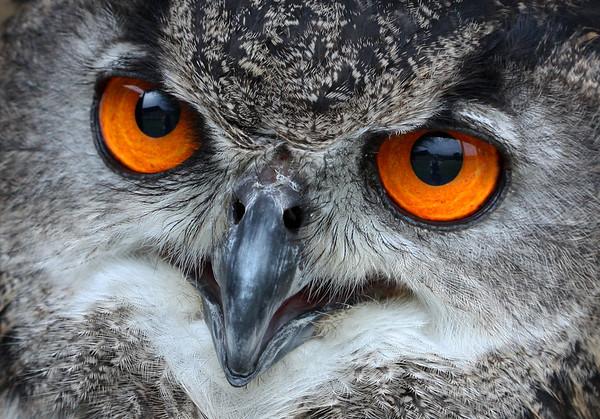 european eagle owl (captive), Greenbriar Resort, WV