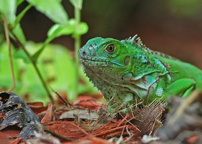 green iguana, June in Turks and Caicos