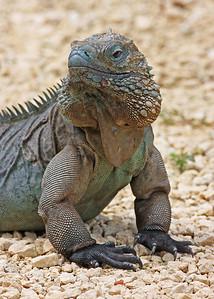 blue iguana, July on Grand Cayman Island