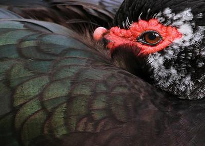 muscovy duck, Blacksburg, VA