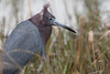 Little Blue Heron, Chincoteague National Wildlife Refuge