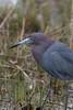 Little Blue Heron, Chincoteague National Wildlife Refuge