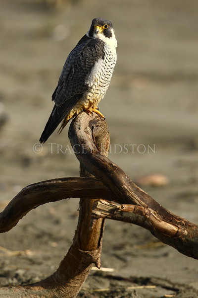 Peale's Peregrine Falcon (Falco peregrinus pealei)<br /> <br /> You may purchase a print or a digital download. If purchasing a digital download please look at the licensing agreement terms for personal or commercial use.