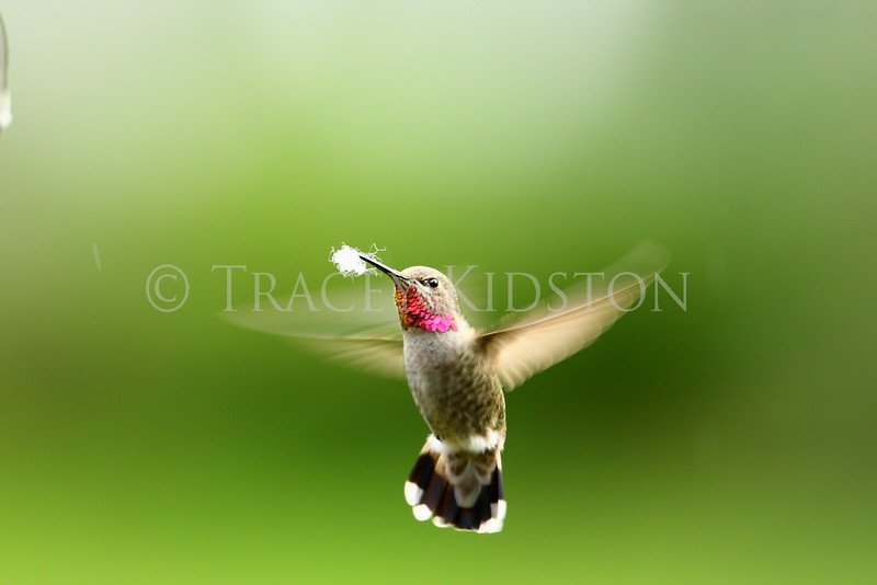 Anna's Hummingbird (Calypte anna)<br /> <br /> You may purchase a print or a digital download. If purchasing a digital download please look at the licensing agreement terms for personal or commercial use.