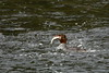 Common Merganser (Mergus merganser)<br /> <br /> You may purchase a print or a digital download. If purchasing a digital download please look at the licensing agreement terms for personal or commercial use.
