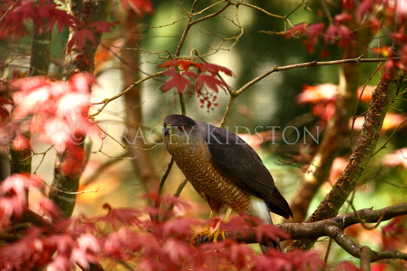 Coopers Hawk (Accipter cooperii)<br /> <br /> You may purchase a print or a digital download. If purchasing a digital download please look at the licensing agreement terms for personal or commercial use.