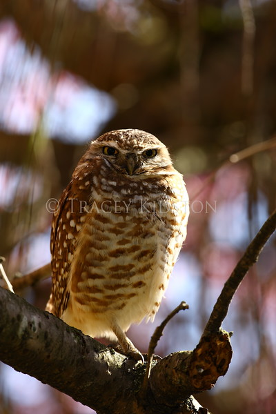 Burrowing Owl (Speotyto cunicularia)<br /> <br /> You may purchase a print or a digital download. If purchasing a digital download please look at the licensing agreement terms for personal or commercial use.