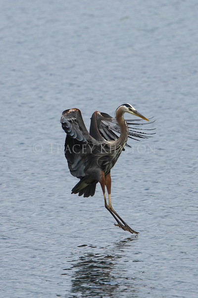 Great Blue Heron (Ardea herodias)<br /> <br /> You may purchase a print or a digital download. If purchasing a digital download please look at the licensing agreement terms for personal or commercial use.