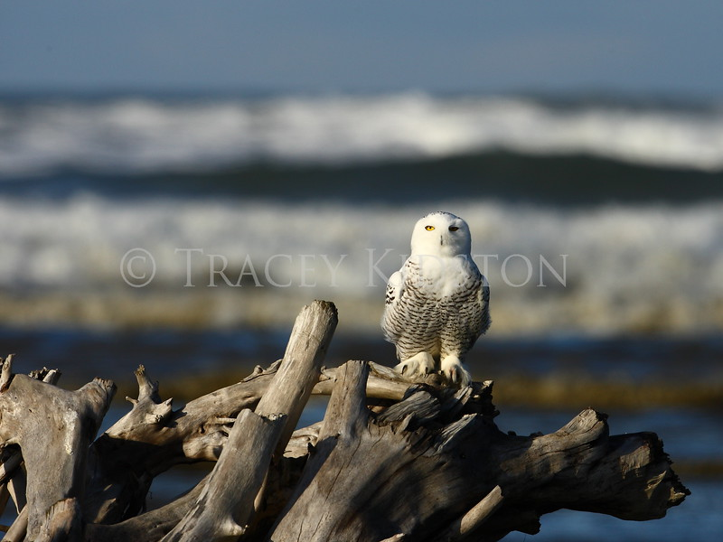Snowy Owl<br /> <br /> You may purchase a print or a digital download. If purchasing a digital download please look at the licensing agreement terms for personal or commercial use.