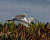 snowey egret