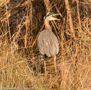 Singing Heron