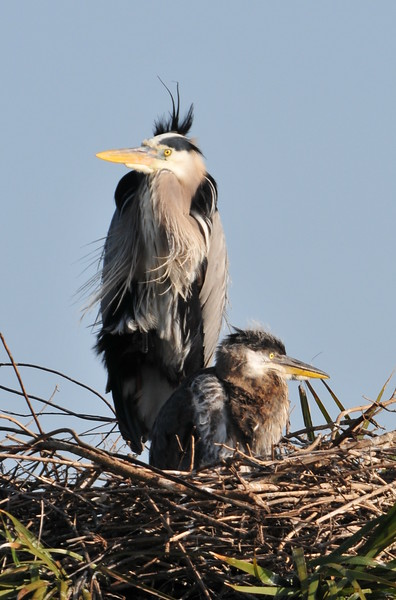Great Blue Heron with Baby Viera, FL
