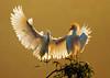 Snowy Egret landing near Cattle Egret