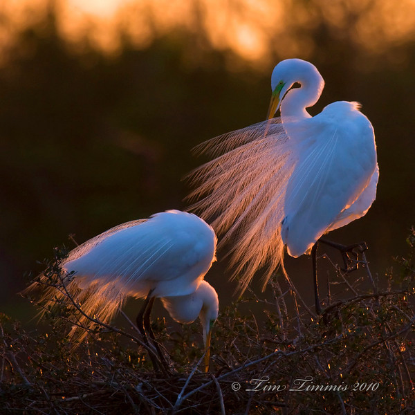 Great egrets in morning light at the High Island rookery