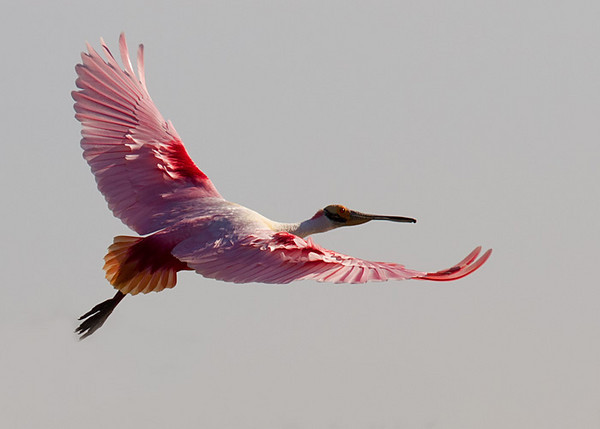 Spoonbill at High Island Rookery