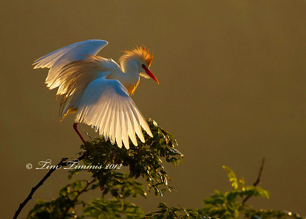 Cattle Egret in full breeding plumage and morning light at High Island rookery