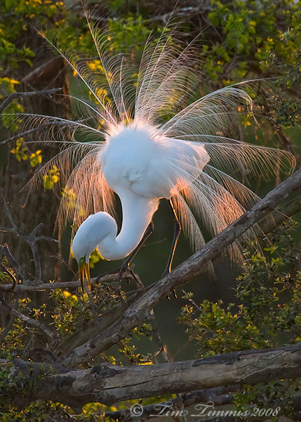 Great Egret with back lighting at High Island rookery