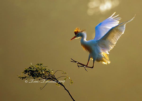 Cattle Egret coming in for a landing