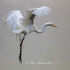 Great Egret at High Island rookery