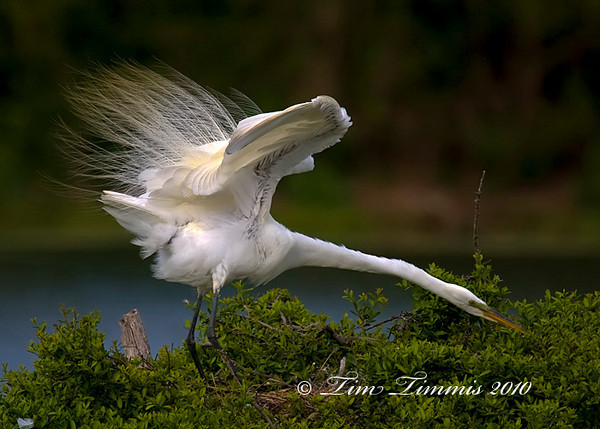 Great egret showing off its breeding plumage